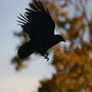 Crow In Flight 2 Poster