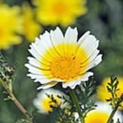 Crown Daisy Flower Poster by George Atsametakis