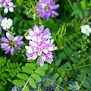 Crown Vetch Wildflowers Poster