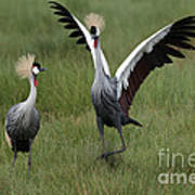 Crowned Cane Courtship Display Poster