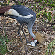 Crowned Crane And Eggs Poster