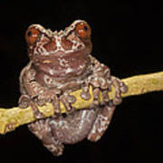 Crowned Frog Costa Rica Poster