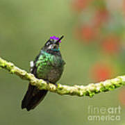 Crowned Hummingbird Poster
