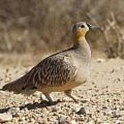 Crowned Sandgrouse Pterocles Coronatus Poster