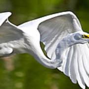 Cruising Egret Poster