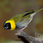 Cuban Melodius Finch Poster