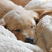 Cuddling Labrador Retriever Puppy Poster