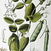 Culinary Pea Pisum Sativum Poster
