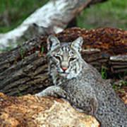 Curious Bobcat  Poster
