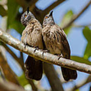 Curious Brown Babblers Poster