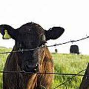 Curious Calf Looking Through Barbed Wire Fence Poster