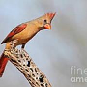 Curious Cardinal Poster