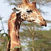 Curious Giraffe 2 Poster