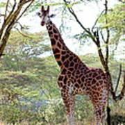 Curious Giraffe Poster