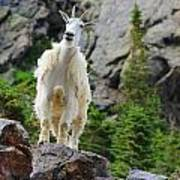 Curious Goat Poster
