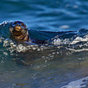 Curious Harbor Seal Poster