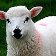 Curious Lamb Poster