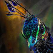 Curious Peacock  Poster
