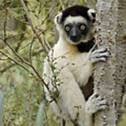 Curious Sifaka 1 Poster