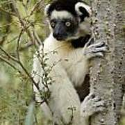 Curious Sifaka 2 Poster