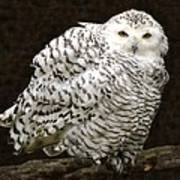 Curious Snowy Owl Poster