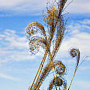Curled Grasses Poster
