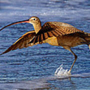 Curlew Preparing For Take Off Poster