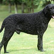 Curly-coated Retriever Poster