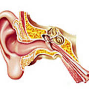 Cutaway Diagram Of Human Ear Poster