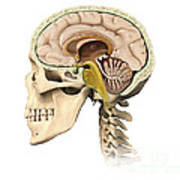 Cutaway View Of Human Skull Showing Poster