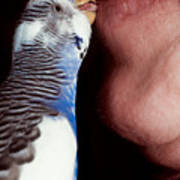 Cute Budgie Kissing Lips Poster