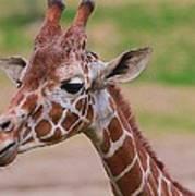 Cute Giraffe Portrait  Poster