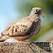 Cute Inca Dove Poster by Robert Bales