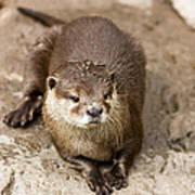 Cute Otter Portrait Poster