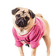 Cute Pug Wearing Sweater Poster