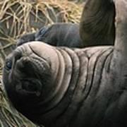 Cute Seal Poster
