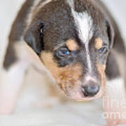 Cute Smooth Collie Puppy Poster