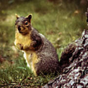 Cute Squirrel Poster by Robert Bales