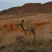 Cute Young Camel Desert Sinai Egypt Poster