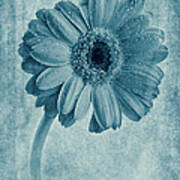Cyanotype Gerbera Hybrida With Textures Poster