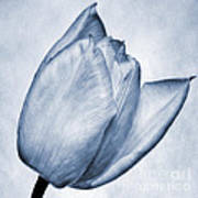 Cyanotype Tulip Poster