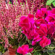 Cyclamen Flower Poster
