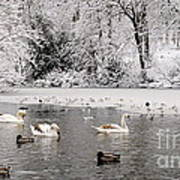 Cygnets In Winter Poster