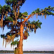 Cypress Tree Draped In Spanish Moss Poster