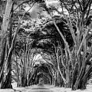 Cypress Tree Tunnel Point Reyes Poster