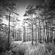 Cypress Trees In Big Cypress Poster