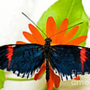 Cythera Butterfly Poster