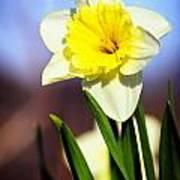 Daffodil Blossom Poster