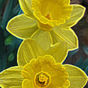 Daffodil Duet By Jrr Poster