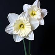 Daffodil Flowers Still Life Poster